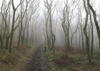 Oaks in the fog