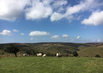 Sheep at Lower Hare Knap