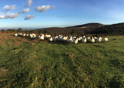 Sheep in front of Dowsborough Hill